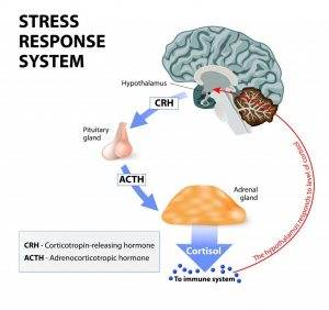 HPA - Axis - The body's stress response can be optimised and rebalanced using kinetic Oxygen